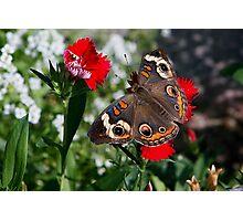 Buckeye Moth Photographic Print
