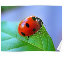 Coccinellidae.... Poster