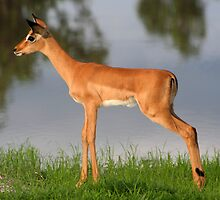 Impala Lamb by Kevin Jeffery