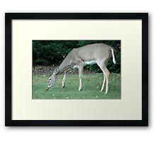 White Tail  Framed Print