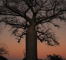 Boab Sunset by Limitlessonline