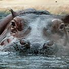 Hippopotamus by John Thurgood