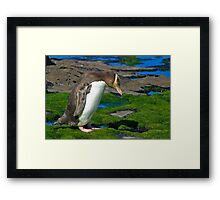 Yellow-eyed Penguin Framed Print