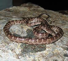 Virgin Islands Boa by TaiHaku