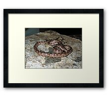 Virgin Islands Boa Framed Print