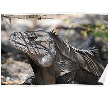 Ricord's Iguana Poster