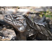 Ricord's Iguana Photographic Print