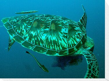 Green turtle shell by TaiHaku