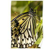 Rice Paper Butterfly Up Close Poster