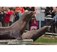 Barking Seals Photographic Print
