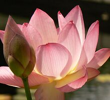 Pink Lotus with bud by MischaC