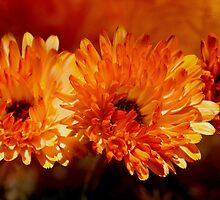 Pot Marigold by Diane Schuster