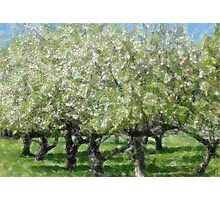 Apple Tree Orchard Photographic Print