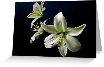 White Lilies by Sandy Keeton