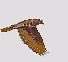 Ferruginous Hawk (Dark Morph) by Marvin Collins