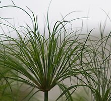 Papyrus In The Fog  by Sandra Foster