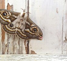 South African Marbled Emperor Moth by themicrochicken