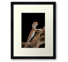 Central Netted Dragon [Ctenophorus nuchalis] Framed Print