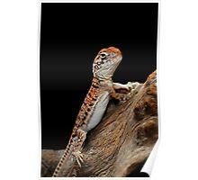 Central Netted Dragon [Ctenophorus nuchalis] Poster