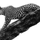 Leopard in a tree by Kevin Jeffery