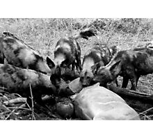 Wild Dog Kill Photographic Print