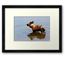 Wild Dog in water Framed Print