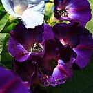 Morning Glory Bees by Cathy O. Lewis