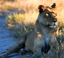 Lioness with tattered ear by Kevin Jeffery