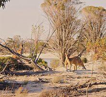 Kangaroos in the wild by georgieboy98