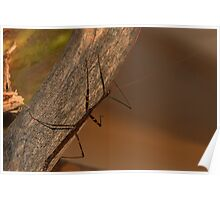 Walking Stick Poster