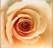 beautiful apricot- rose (Marilyn Monroe) by picketty