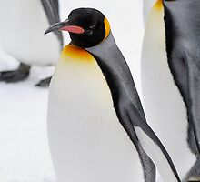 King Penguin by Aneurysm
