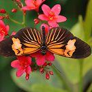 Orange  Beauty  Butterfly  by Judy Grant