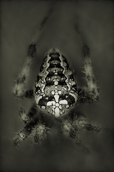 Orb web spider by jimmy hoffman