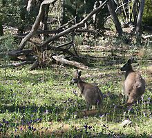 Kangaroos in the bush. by elphonline