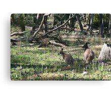 Kangaroos in the bush. Canvas Print