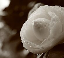 Camellia japonica by Gaspar Avila