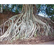 Banyan Roots in Molokai Photographic Print
