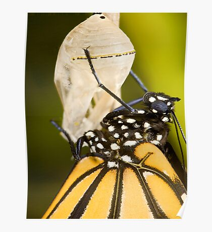 Newly hatched monarch butterfly and chrysalis Poster