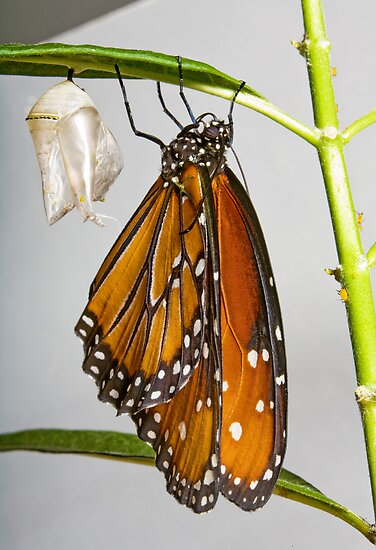 Queen Monarch and her chrysalis by Cranston Reid
