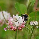 Bee in Clover !!! by AnnDixon