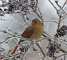 Cardinal on Icy Branches by Sandy Keeton