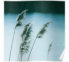 Windy winter reed Poster
