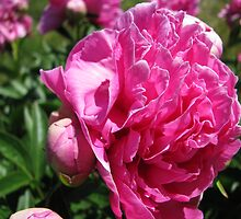 Pink Flowers by Knick Flanigan