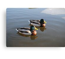 Ducks on water Canvas Print