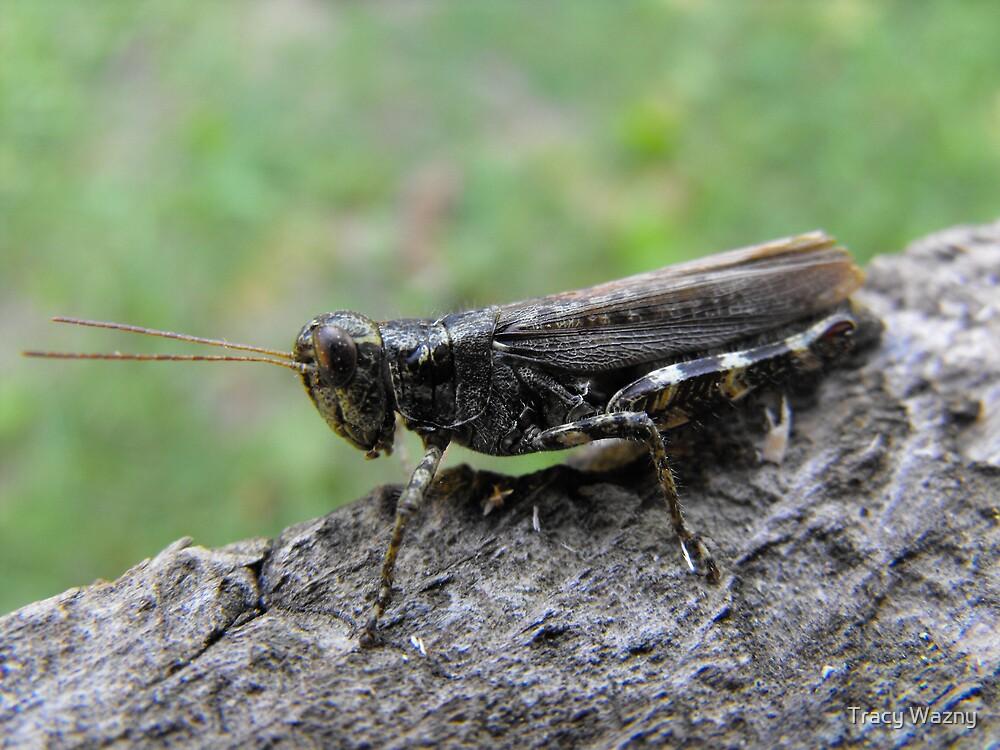 Grasshopper by Tracy Wazny