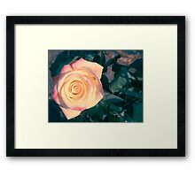 Two colored rose Framed Print