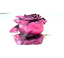 Little pink rose Photographic Print