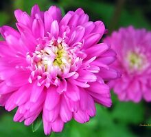 Pink Zinnia Flower by Christina Rollo