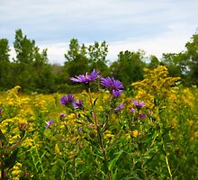 Asters And Goldenrod by SRowe Art